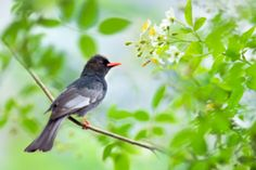 ~ Black Bulbul ~ - stock photo