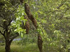 """Although a """"swarm of bees"""" sounds a bit scary, they are usually completely docile and uninterested in stinging you or your family while swarming. The bees just want to find a new home!"""