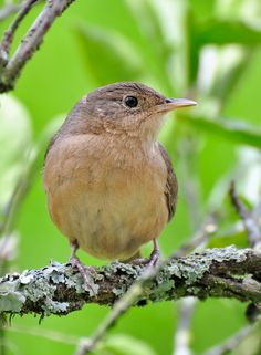 Foto corruíra (Troglodytes musculus) por Frederico Swarofsky | Wiki Aves - A Enciclopédia das Aves do Brasil