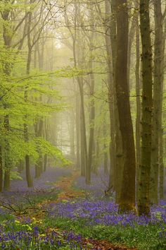 Bluebells in mist by  Chris Gregoryon
