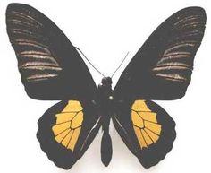 TROIDES STAUDINGERI HEPTANONIUS - male  (loc.: Damer Is.)
