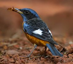 Blue-headed Rock Thrush - male