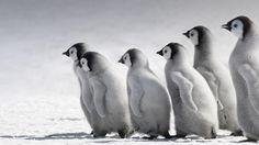#cotton #penguin