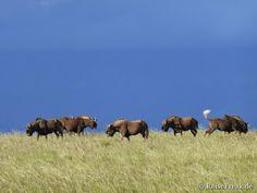 #Samara: Aus Liebe zu Afrika. #Safari, #malariafrei, im Herzen von #Südafrika. Blaue Gnus zur blauen Stunde? Nein, Gnus tollen immer so umher, die haben gar keinen Alkohol nötig, um sich komisch aufzuführen.
