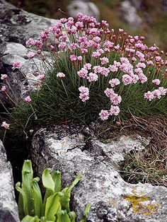 check out page to see what to plant with it and different kinds of thrift. Thrift, a flowering, hardy, perennial plant that thrives in dry conditions. Great for rock gardens Flower Garden, Xeriscape, Planting Flowers, Plants, Edging Plants, Perennials, Flowers, Landscaping Plants, Landscape Edging