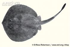 grey stingray fish - Google Search