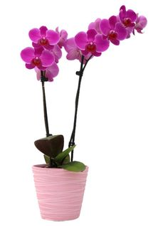 A stunning double spike purple flowering orchid in a smart pink ceramic pot. This stylish ceramic pot is from our new bright pot range. The purple orchids are a stunning colour and will be sent with at least twelve flowers/buds.