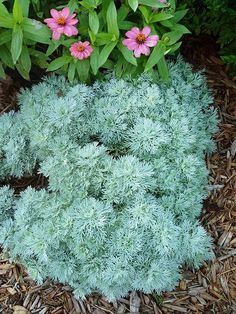 Artemisia has beautiful silver-gray foliage that won't fade in the hot sun. This hardy perennial is also drought and insect resistant, and the branches make a wonderful addition to indoor flower arrangements. Height varies by variety and can range from 3 feet tall to just 5 inches. Grows in Zones 4-9.