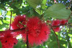 Pommerak bloesem, nu nog met een rode gloed die later paars wordt. Surinaams fruit