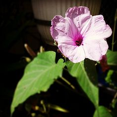 Garden Discoveries - Mauve/pink flower in bloom.