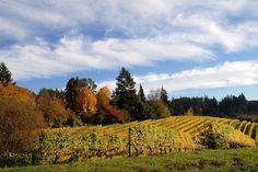 Oregon's Overlooked Gem: Riesling