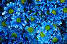 bright and bold blue dasies