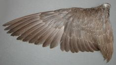 Folded Bird Wings | Species, Age and Sex Identification of Ducks ...