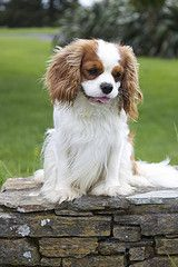 cavalier king charles spaniel I will have one of these, one day! King Charles Puppy, Cavalier King Charles Dog, King Charles Spaniel, Cavalier King Spaniel, Spaniel Dog, Spaniels, Cute Little Puppies, Dogs And Puppies, Best Dog Breeds