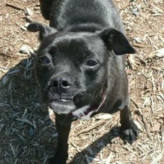 """#WASHINGTON ~ Shadow ID A437802 is a 2yo Chi Pug """"Chug"""" mix in need of a loving #adopter / #rescue at REGIONAL ANIMAL SERVICES of KING COUNTY 21615 64th Ave S  #Kent WA 98032 Ph 206-296-7387"""