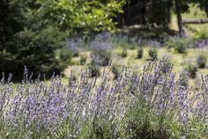 photo gallery : ktimabellou.gr Lavender Fields, Photo Galleries, Activities, Gallery, Nature, Plants, Naturaleza, Plant, Off Grid