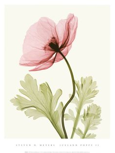 Iceland Poppy II- These are amazing X-ray photos of flowers and plants by Steven Meyers. Check his website.