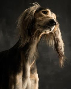 "The Saluki. Also known as the Persian Greyhound & Royal Dog of Egypt, the Saluki is one of the oldest known breeds of domesticated dog with Middle Eastern evidence dating back to 8000-10,000 B.C. Salukis are ""sight"" hounds, which means they hunt by sight, run the quarry down, catch it, and kill or retrieve it.  An independent & aloof breed, they are also intelligent & affectionate. Because of their gentle & sensitive nature training should be conducted with patience, not harshly."