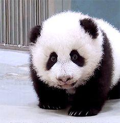 Oh.my.god....baby panda.... O_O I may or may not be crying tears of joy...