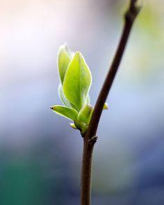 Листки сирени.  #byolgapushkinaphoto #springtime #flora #nature #500px #macro #april #spring #листочки #весна #природа #утро #апрель