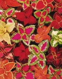 Coleus (great for containers and underplanting, color of the leaves is enhanced in the shade)
