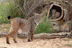Lynx pardinus from http://evoluciencia.blogspot.pt/2011/08/risco-de-extincao-dos-linces-ibericos.html