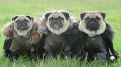 "The Pugs of Westeros - 'making-of' video......great to watch after ""The Pugs of Westeros"""