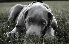 The Amazing World Of Dogs In Photography | Beautiful blue eyed Weimaraner puppy. http://www.pindoggy.com/pin/8220/