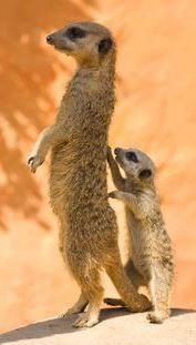 Meerkat & cub