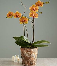 Order ProPlants Online for Delivery Phalaenopsis Orchid Care, Orchid Plant Care, Orchid Plants, Easy Care Indoor Plants, Indoor Plants Online, Succulents Garden, Planting Flowers, Potted Plant Centerpieces, Balcony Plants