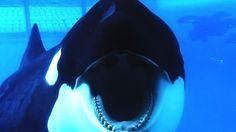 BLACKFISH le documentaire choc sur les Orques détenues dans les parcs / zoos type SeaWorld Marineland .. : A VOIR ABSOLUMENT pour ne plus y emmener vos enfants