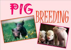 I'm going to be a pig breeder! <3