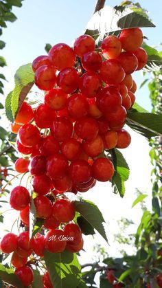 Raspberry, Cherry, Fruit, Food, Plants, Flowers, Essen, Meals, Raspberries