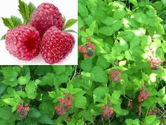 Small Business Ideas | List Of Small Business Ideas: Start Your Own Raspberry Farming Business | Growing Raspberries to Earn Money | Growing Raspberries