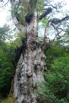Yakushima : Jomon Sugi cèdre 7200 ans environ