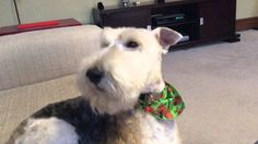 Wire Fox Terrier Hamish sings a song