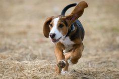 Deutsche Bracke / German Hound Dogs Dog Breeds List, Hound Dog, Doggies, Pugs, Hunting, Puppies, Animals, Hunting Dogs, German
