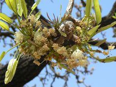 Shea nut flower