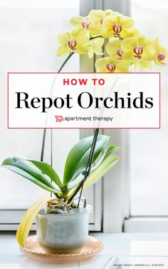 How To Repot an Orchid | Apartment Therapy