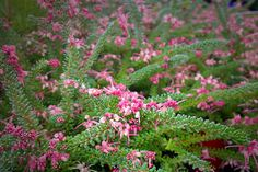 Grevillea Lanigera Mt Tamboritha is widely used as a prostrate groundcover, with a spread of around 1.5metres. We love the bird attracting,