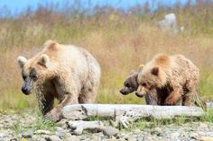 Nature reflects human life.. a Brown bear supermom adopts an orphan Grizzly cub when the real mom ran off w/ her boyfriend (hehe).