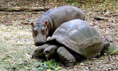 I love hippos!