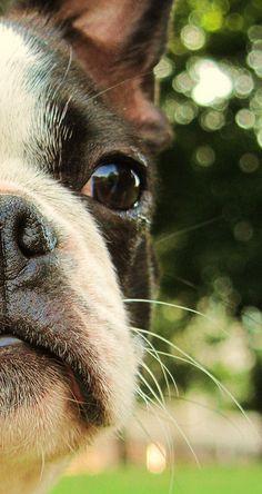 Cream boston terrier facial