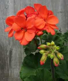 'Fantasia Coral' geranium