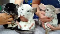 """Chinchillas are two species of crepuscular rodents, slightly larger and more robust than ground squirrels. They are native to the Andes mountains in South America and live in colonies called """"herds"""" at high elevations up to 4,270 m (14,000 ft). Historically, chinchillas lived in an area that included parts of Bolivia, Peru, Argentina, and Chile, but today colonies in the wild are known only in Chile.Along with their relatives, viscachas, they make up the family Chinchillidae. Mountains In South America, Bolivia Peru, Ground Squirrel, Andes Mountains, Chinchillas, Rodents, Squirrels, Animal Pictures, Chile"""