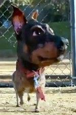 Tomba the Doberman Pinscher Chihuahua Mix Dog Car, Chihuahua Mix, Doberman Pinscher, Animal Rescue, Dogs, Animals, Animaux, Doggies, Doberman