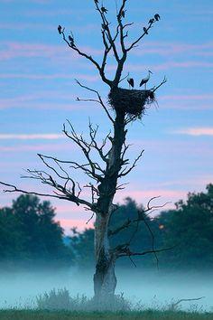 Chereshlya, Belarus: storks sit in their nest on a foggy morning