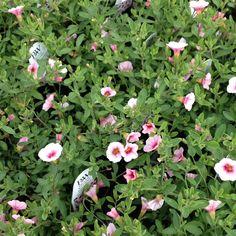 Calibrachoa 'Cherry Blossom'