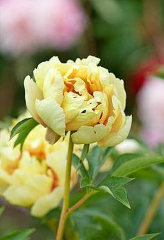 I don't know if I have ever seen yellow peonies. Yellow Peonies, Yellow Flowers, Peony Flower, My Flower, Romantic Flowers, Beautiful Flowers, Peonies Garden, Flower Photos, Garden Inspiration