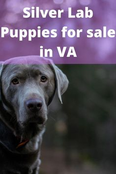 Silver Lab Puppies for sale in VA at a reasonable price is dependent on the silver lab breeders in Virginia. Therefore, we tried to make a list of quality Labrador breeders selling healthy silverlabs against........ #silverlabpup #silverlabofinstagram #silverlabbi Silver Labrador Puppies, Labrador Puppies For Sale, Black Labrador, Labrador Breeders, Charcoal Lab, Puppy Socialization, Silver Labs, Puppy Collars, Getting A Puppy